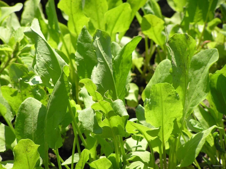 как сажать щавель семенами весной