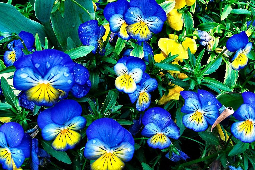 АНЮТИНЫ ГЛАЗКИ - фото цветов, посадка и уход