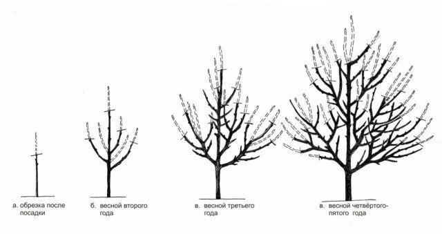 Как обрезать сливу весной схема