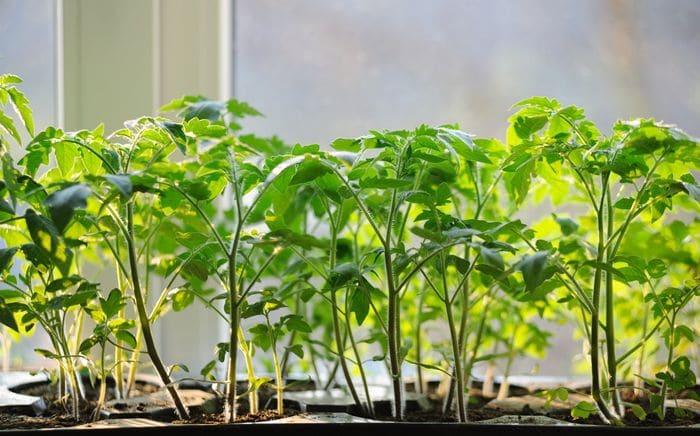 полив рассады томатов после пикировки
