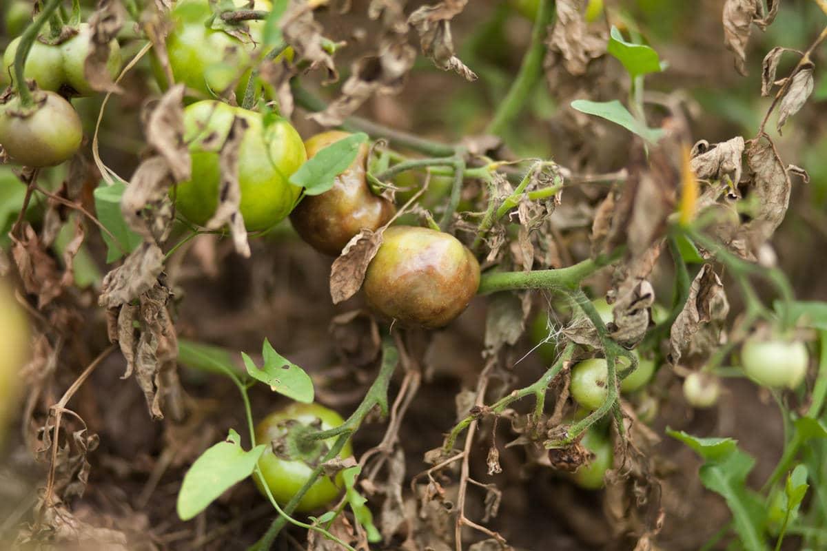 чем опрыскивать рассаду помидор от болезней
